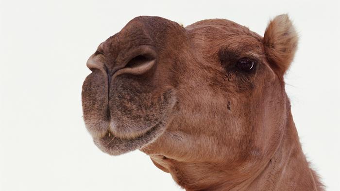 Camel's Milk for Diabetics